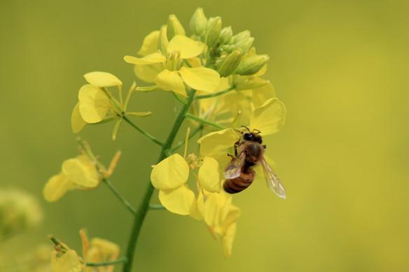 Er bee pollen sunt?