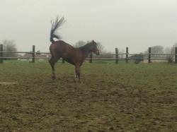 Het bestuderen van paardengedrag