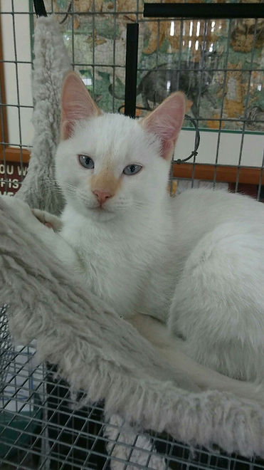 Siamese kitten, cream point