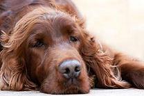 191462-325x216-lethargic-dog.jpg
