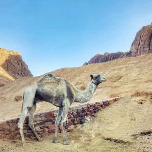 Dahab Camel.jpg