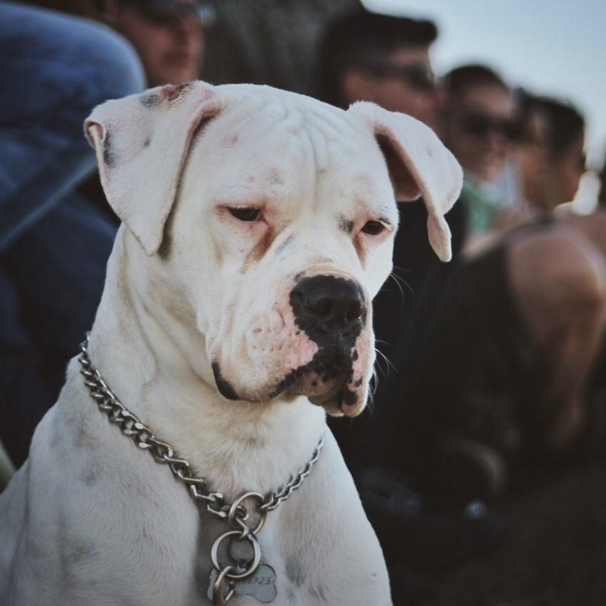Boxer Branca