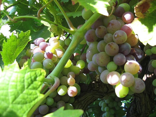 jewishfestival grapes3.jpg
