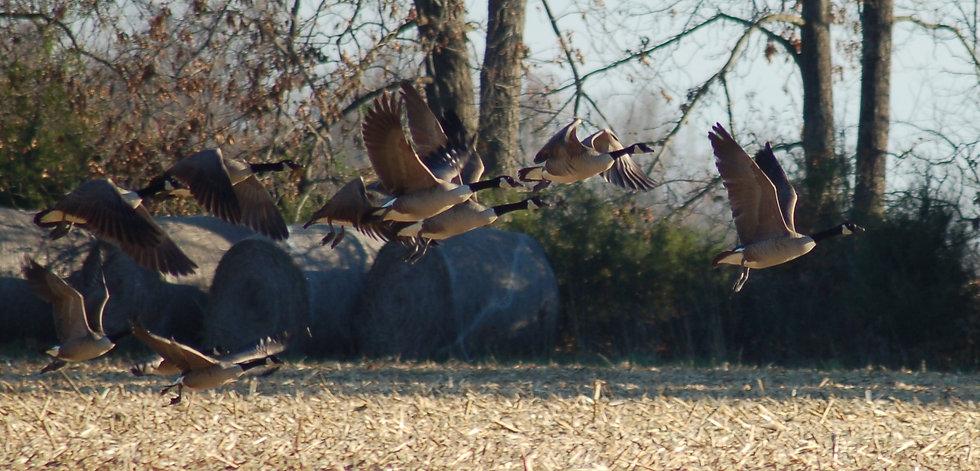 geese in backyard (1).JPG