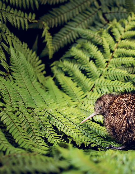 kiwi-bird-chick-in-trouble.jpg