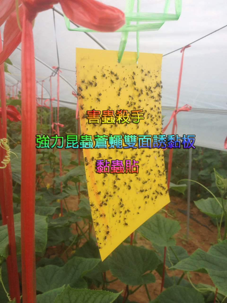 強力昆蟲蒼蠅雙面誘黏板