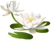 Water_Lily_PNG_Clip_Art_Image-1648.png