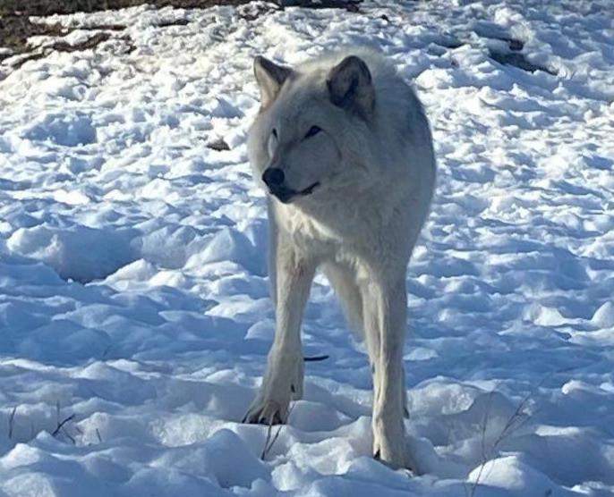 Gargamel The Wolf