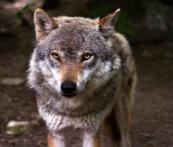 Animal totem Loup, quelle symbolique ?