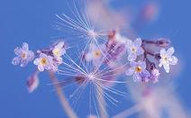 lotus-flower-4427010__480.jpg