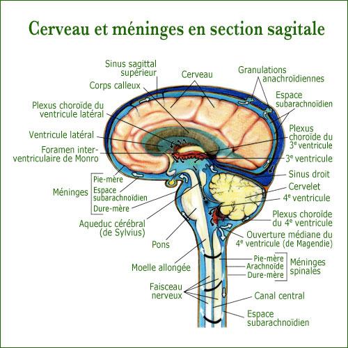 cerveau_qi_gong_du_cerveau_qi-gong.site