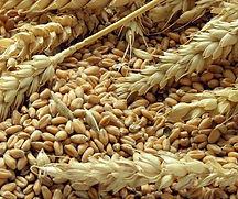 Heads-wheat-grains_edited.jpg