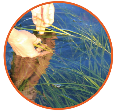 Eelgrass Restoration