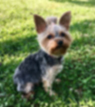 yorkie, yorkshire terrier, yorkie puppie for sale, yorkies for sale in Georgia, yorkies for sale in Atlanta