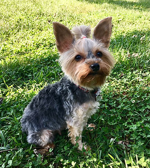yorkie, yorkshire terrier, yorkie puppie for sale, yorkies for sale in Georgia, yorkies for sale in Atlanta