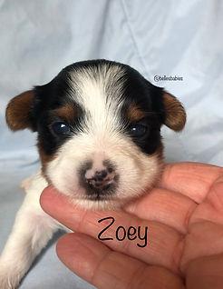 yorkie puppy for safe, parti yorkie puppies, yorkies for sale alabama, yorkies for sale near Georgia, yorkie puppy, parti puppy, parti puppies, yorkie puppies, yorkie breeder