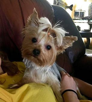 yorkie, yorkshire terrier, yorkie puppies for sale, yorkies for sale in Georgia, yorkies for sale in Atlanta