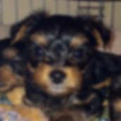 Yorkie, Yorkshire Terrier, yorkie puppy