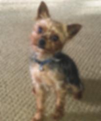 yorkie, yorkshire terrier, yorkie puppies for sale, yorkies for sale in Georgia, yorkies for sale in Atlanta, yorkie stud