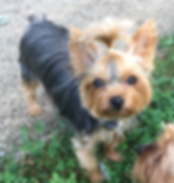 yorkie, yorkshire terrier, yorkie puppies for sale, yorkies for sale in Georgia, yorkies for sale in Atlanta