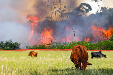 190903-amazon-fires-grazing-cattle-grass