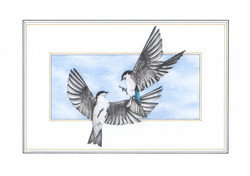 Swallows illustration