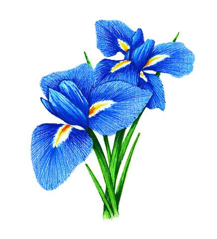 Iris # 2 illustration