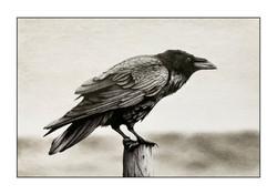 Raven # 3 illustration
