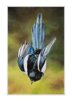 Magpie # 5 illustration