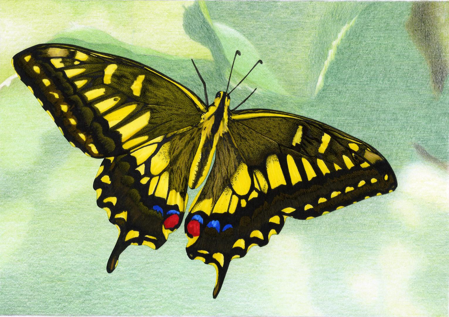 Swallowtail Butterfly illustration