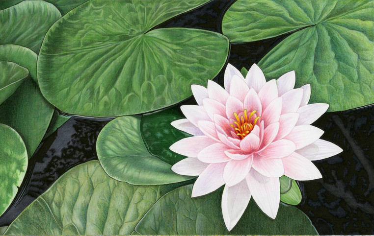 Lily Pond illustration