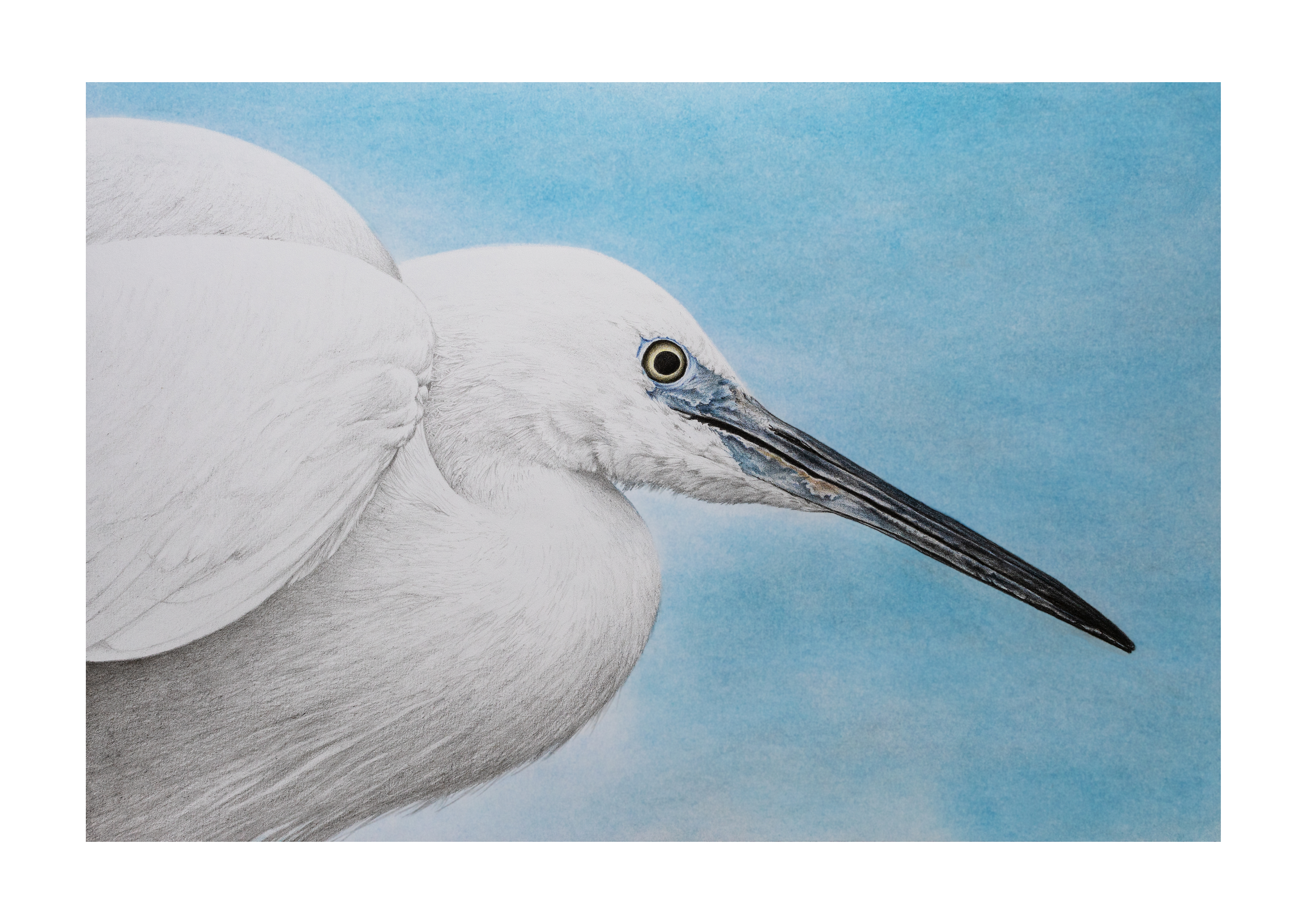 Little Egret illustration