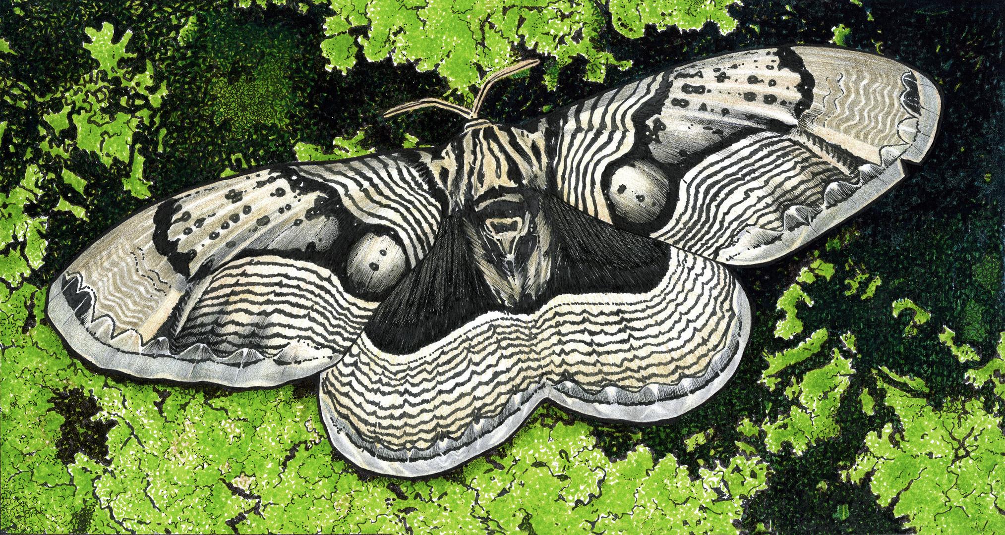 Moth On Lichen illustration