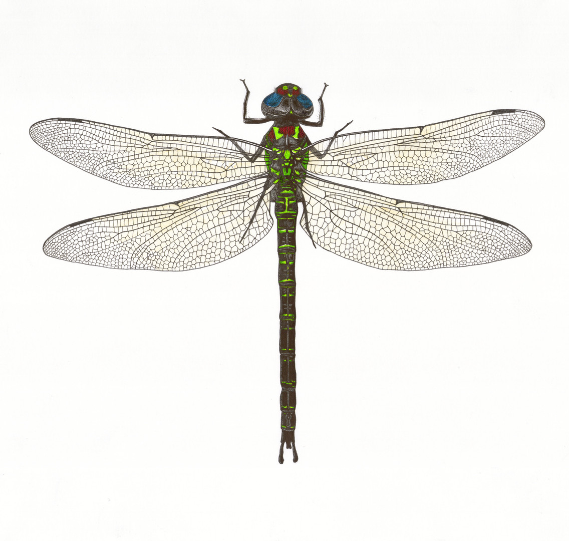 Dragonfly # 1 illustration