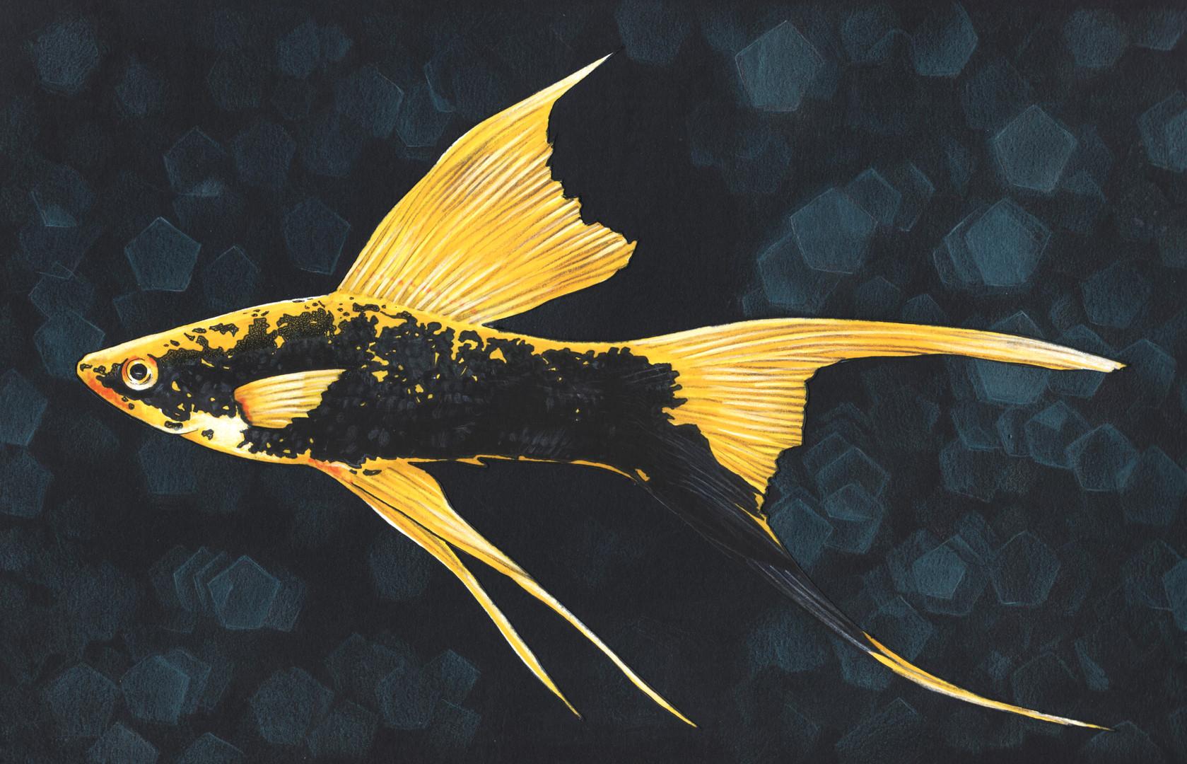Lyretail Fish illustration