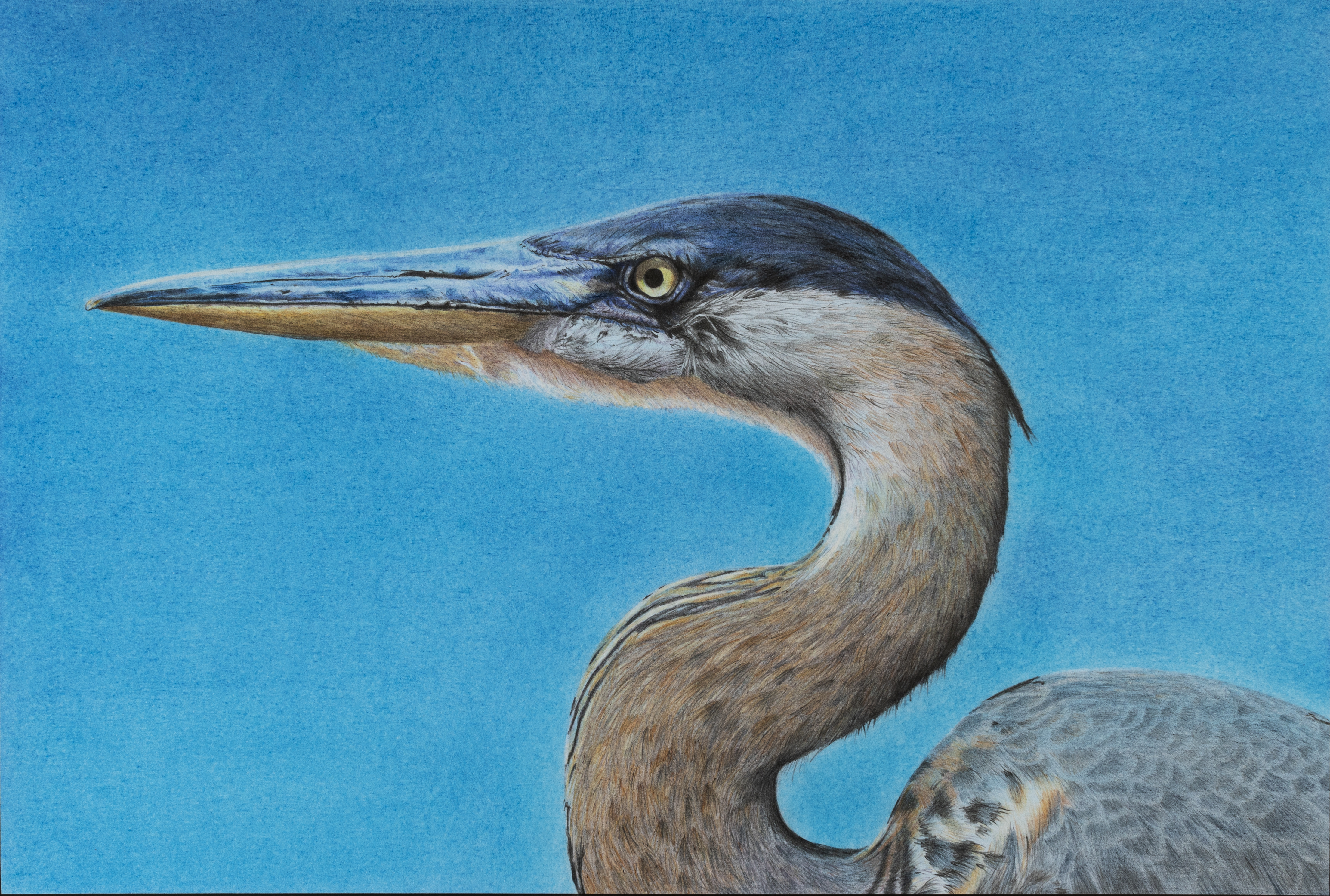 Great Blue Heron illustration