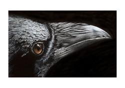 Raven # 4 illustration