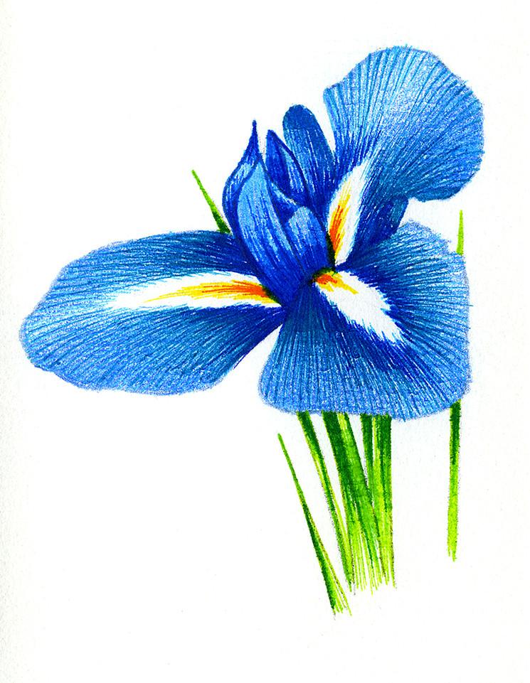 Iris # 1 illustration
