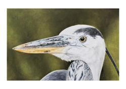 Great Blue Heron # 2 illustration