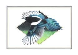 Magpie # 4 illustration