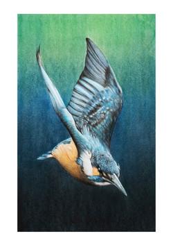 Kingfisher # 2 illustration