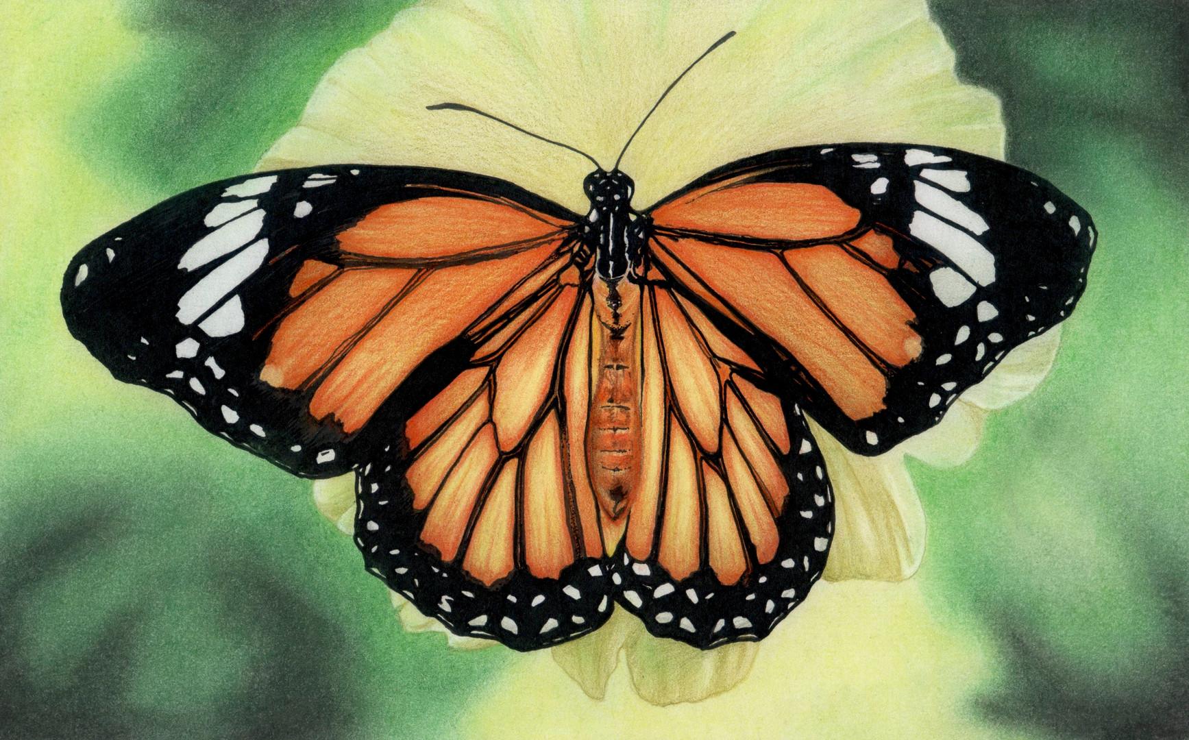 Butterfly III illustration