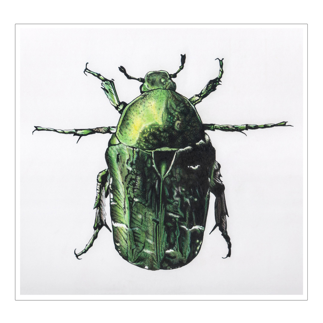 Green Dock Beetle illustration