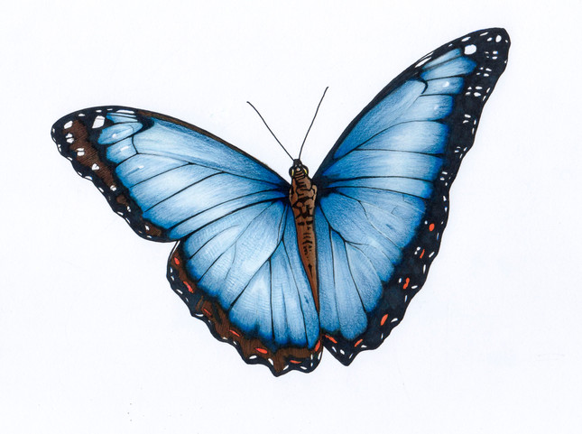 Morpho Butterfly illustration