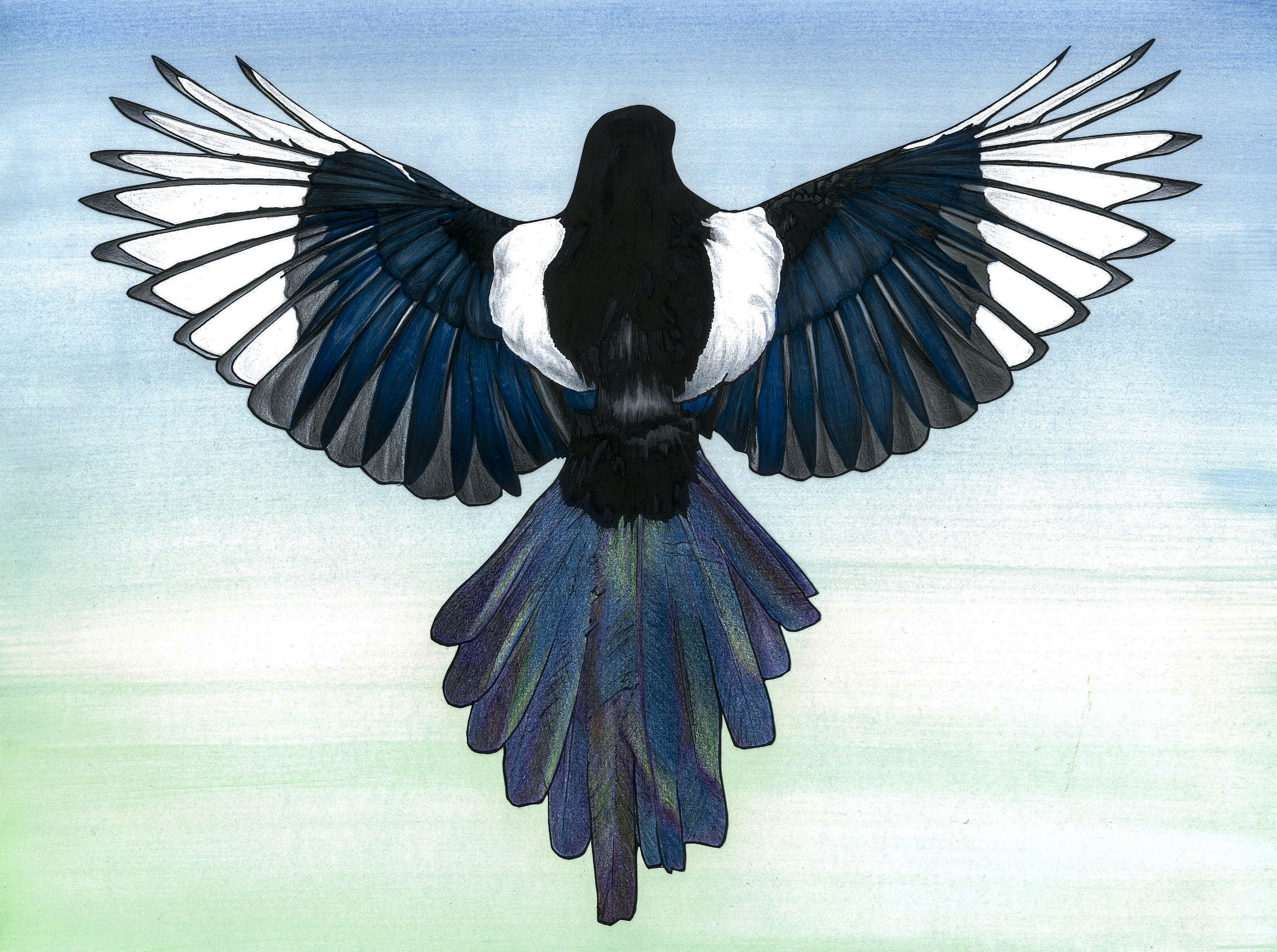 Magpie illustration