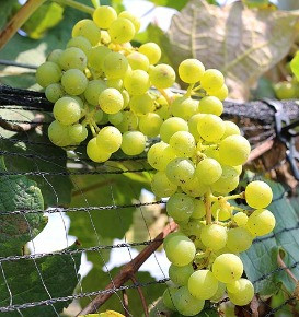 2020 Grape Harvest Value Cut in Half