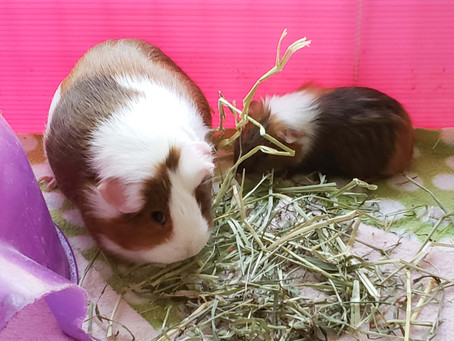 Guinea Pigs Protest Carrot Shortage