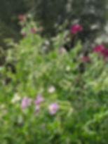 sweet pea vines.jpg