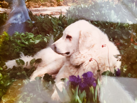 How Large White Dogs came into My Life