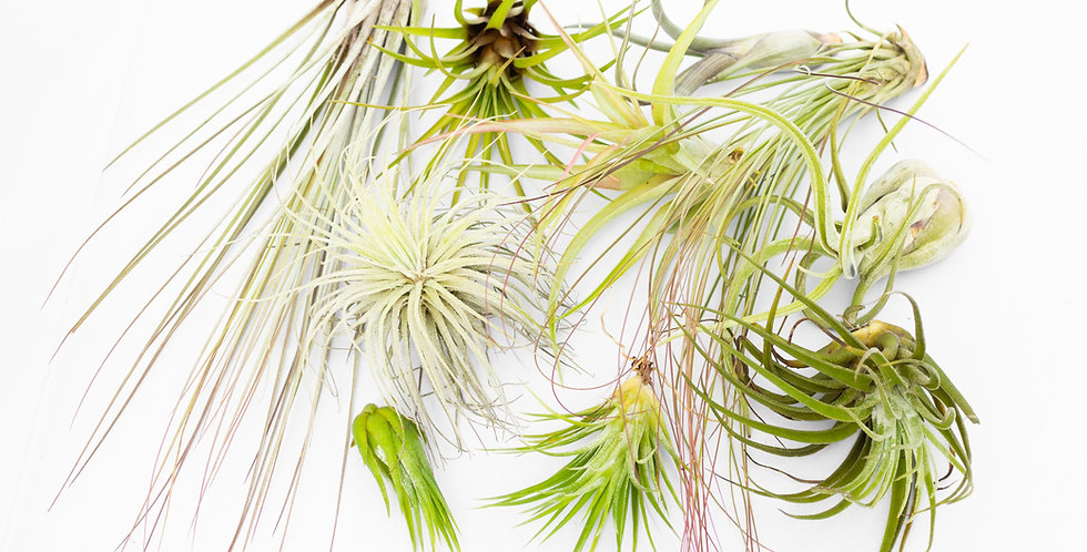 Airplant collection- Medium